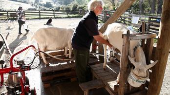 Génmódosított kecskék termelik a rákgyógyszert