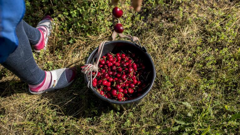 Minden idők egyik leggyengébb gyümölcstermése várható Magyarországon