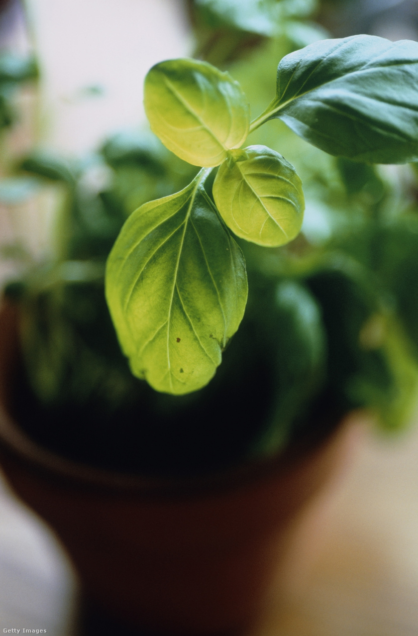 Frissen és szárítva is hatásos légyűző a bazsalikom. Egyike azon növényeknek, amik édes illatot árasztva tartják távol a nem kívánt, szárnyas betolakodókat. Olcsó megoldás, a növény szinte bárhol beszerezhető. Amellett, hogy rovarok elűzésére is használhatod, friss bazsalikomforrásod is háztájékon lesz.Virágzó szárai letörésével szaporítani is könnyű.