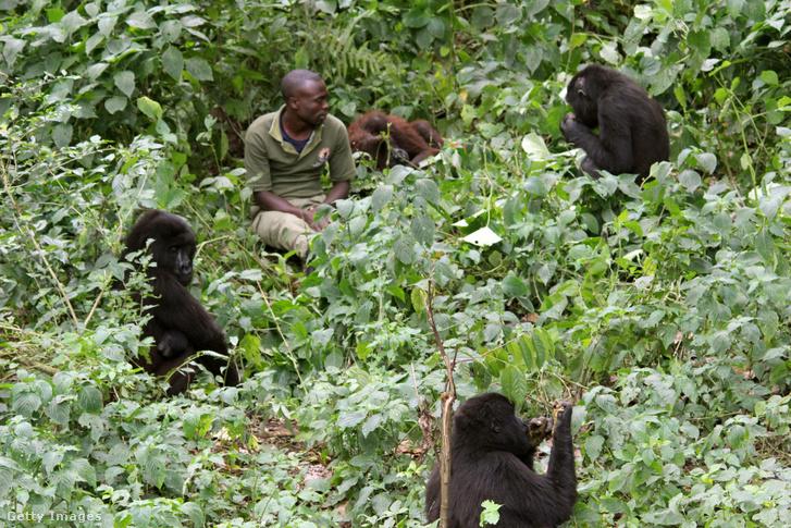 Egy vadőr ül hegyi gorillák között a Virunga Nemzeti Parkban.
