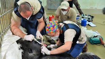 Életmentő műtétet hajtottak végre a nyíregyházi ezüsthátú gorillán