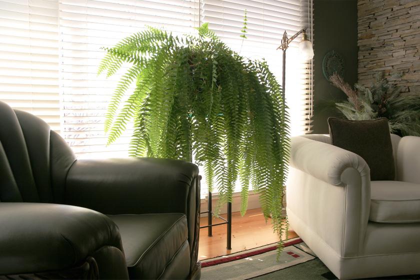 Kvíz! Melyik szobanövény mérgező, melyik nem? Teszteld tudásodat lakásban tartott virágokról