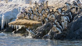 Néhány pingvin jól jár a sarki jég olvadásával