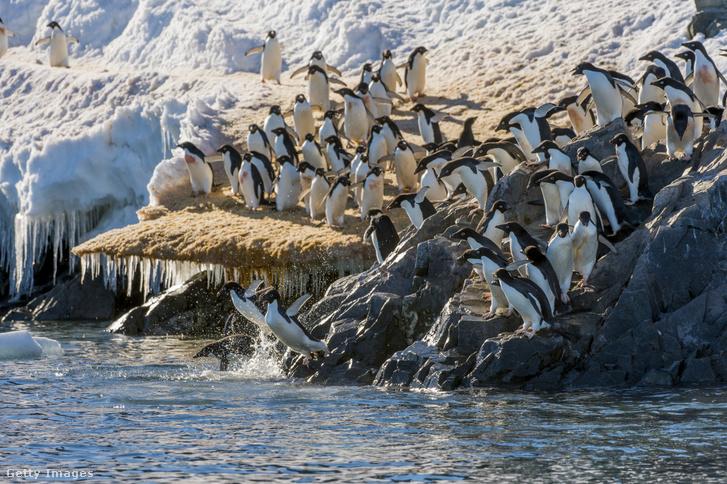 Vadászni induló Adélie-pingvinek.