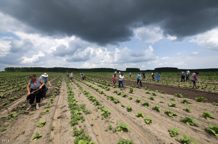 Mezőgazdasági idénymunkások Pócspetri határában 2020. június 26-án