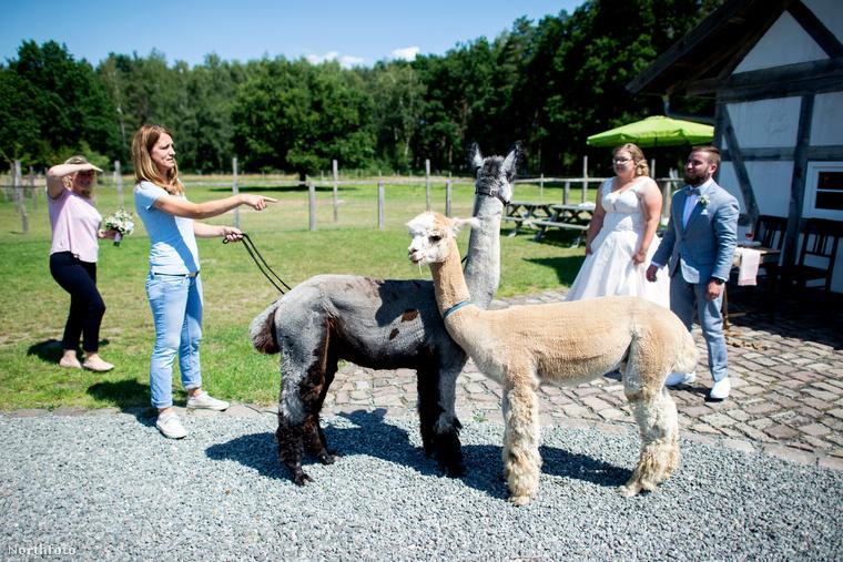 A kellemetlen meglepetések elkerülése érdekében az ifjú párnak az esemény előtt elmagyarázták, hogy hogyan kell bánni ezekkel az állatokkal