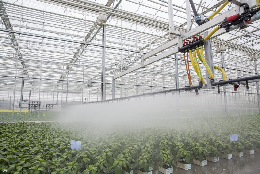 Automata berendezéssel öntözik a paprikapalántákat palántanevelő üvegházban Szegvár közelében