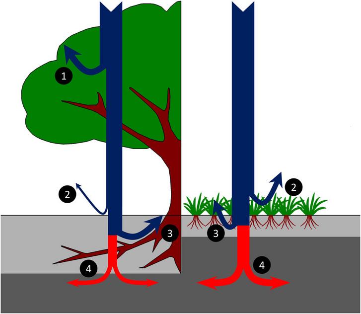 Az erdők és a gyepek vízháztartása. A lombkorona a csapadék (kék nyilak) jelentős részét felfogja (1), ami a gyepeken akadály nélkül eléri a lágyszárú szintet (2). A talajba szivárgott víz egy részét felszívják a gyökerek (3), a maradék pedig mélyebbre szivárog (4), és a helyi vízkörforgás részévé válik.