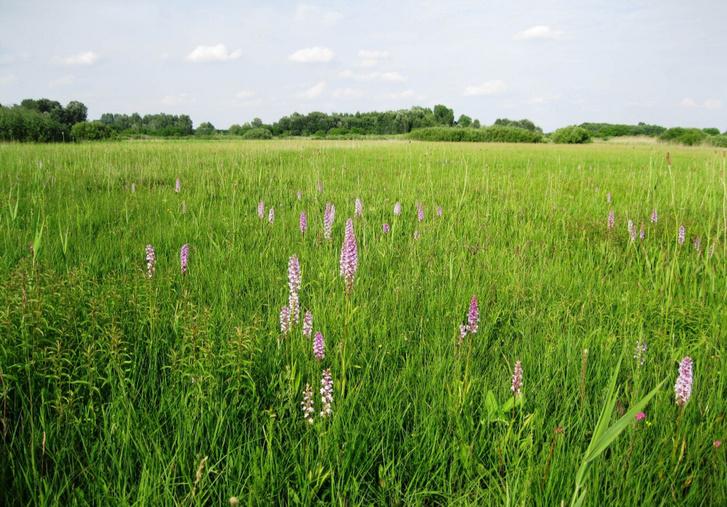 Orchideás kaszálórét Fülöpszállás mellett, a Duna-Tisza közi homokhátság peremén. Vízellátottsága, és így fennmaradása a hátság felől érkező víztől függ