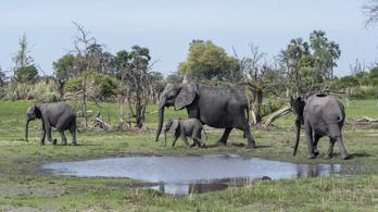 Továbbra sem tudják, mi okozza a rejtélyes elefántpusztulást Botswanában