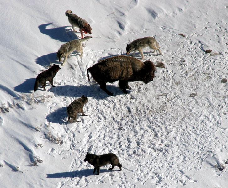 Magányos bölényre támadó farkasfalka Yellowstone-ban