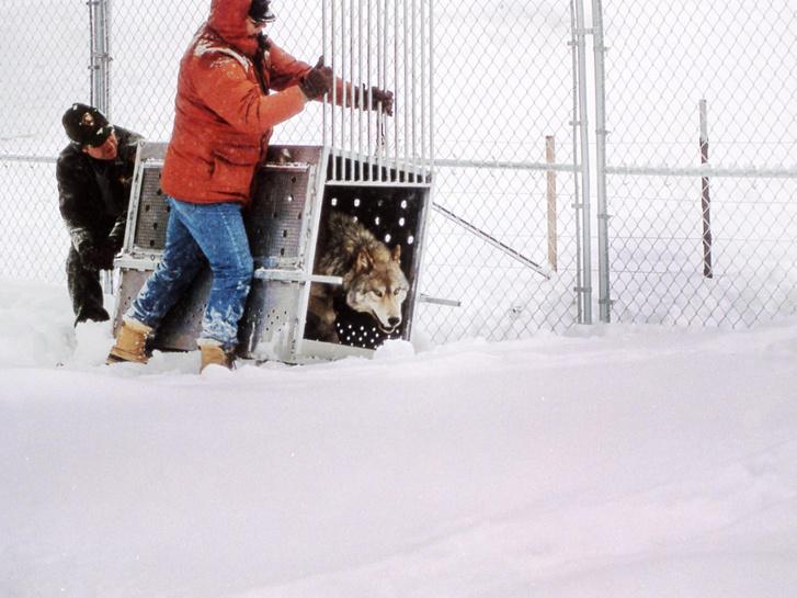Visszatelepített farkast engednek szabadon a Yellowstone Parkban a kilencvenes évek közepén