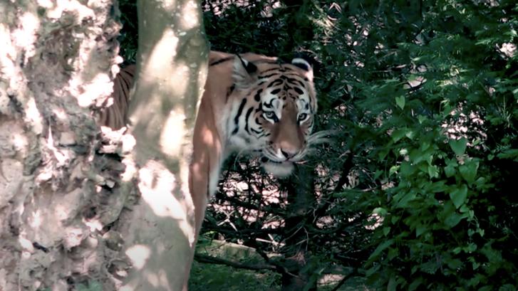 Irina nevű tigris a zürichi állatkertben