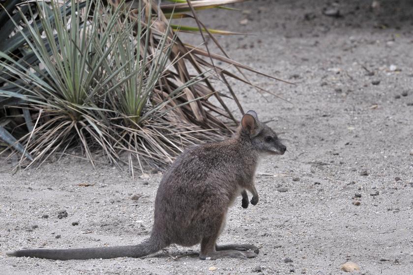 A fehértorkú kenguru néven is ismert Parma-kenguruk a kisebb termetű kengurufajok közé tartoznak.