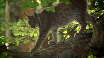 Majdnem kiirtották, de visszatért a magyar erdők gyönyörű fantomja