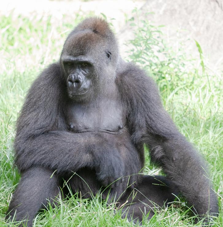 Tumani, a gorillakismama
