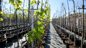 Az országban 12 ezer sorfát ültetnek el