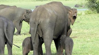 Ritka elefántikrek születhettek Srí Lankán