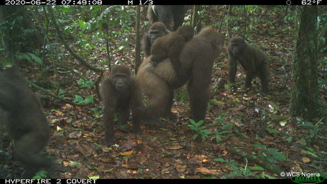 Különböző életkorú ezüsthátú cross river gorillák 2020 júniusban, Nigériában