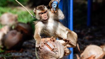 Minden thaiföldi kókuszon fel kell tüntetni, hogy nem munkára fogott majom takarította be