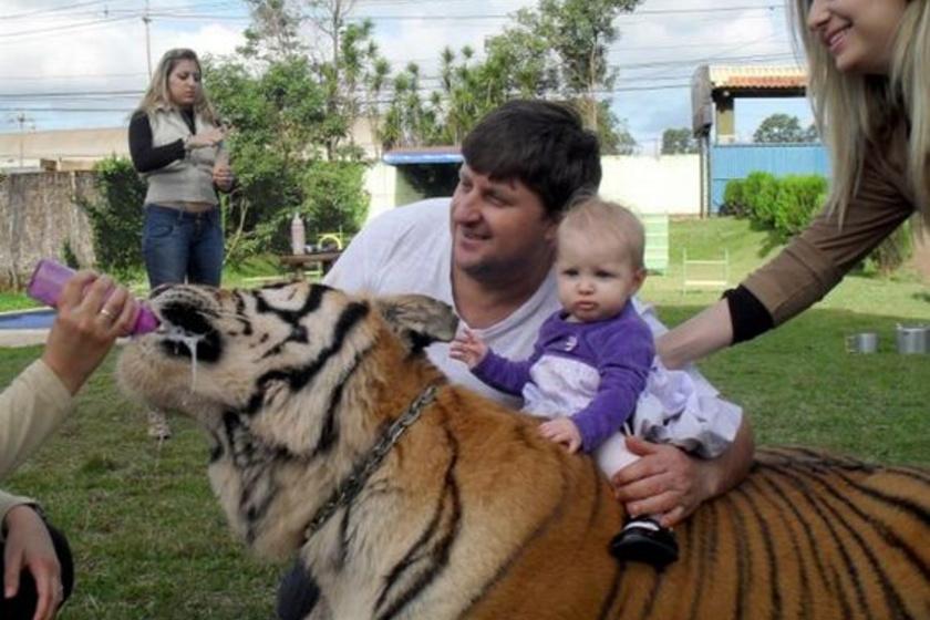 Brazíliában, Maringes városában Ary Borges tigriseket tart házi kedvencként. A hatóság többször próbálta elvenni veszélyeztetett állatait, azonban a férfi kitartóan küzd nagymacskáiért - szerinte nála jobban élnek, mint a szabadban.