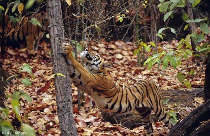 Tigris Indiában.