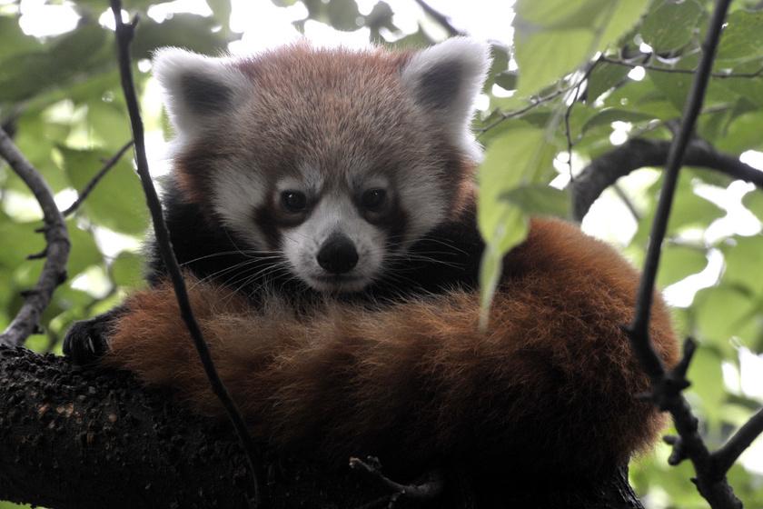 Ritka állat költözött a budapesti állatkertbe: nézd meg képeken a kis pandát