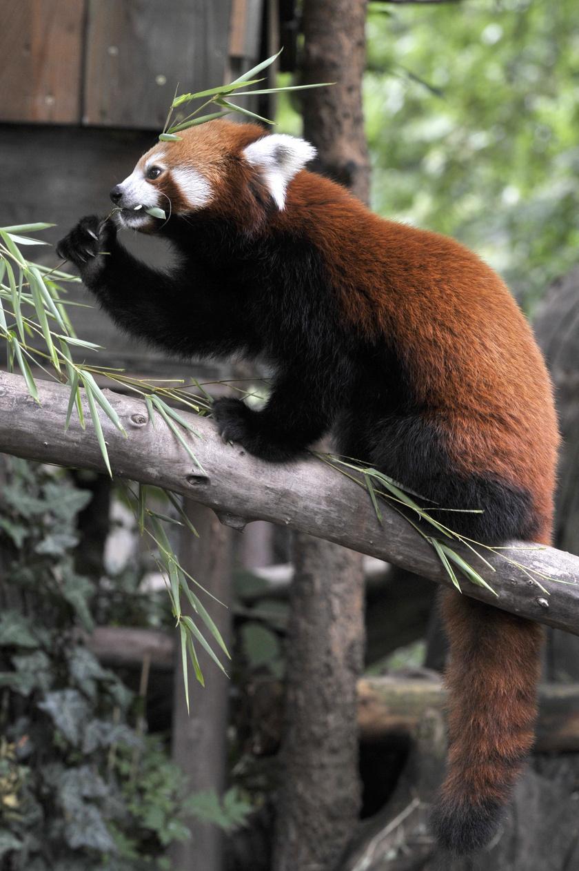 Bendegúz, az egyéves hím a már évek óta Budapesten élő, csaknem tízéves nőstény, Auróra mellé érkezett az egyik németországi állatkertből.