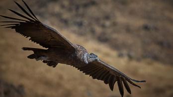 Az andoki kondor 100 mérföldet repül egy szárnycsapás nélkül