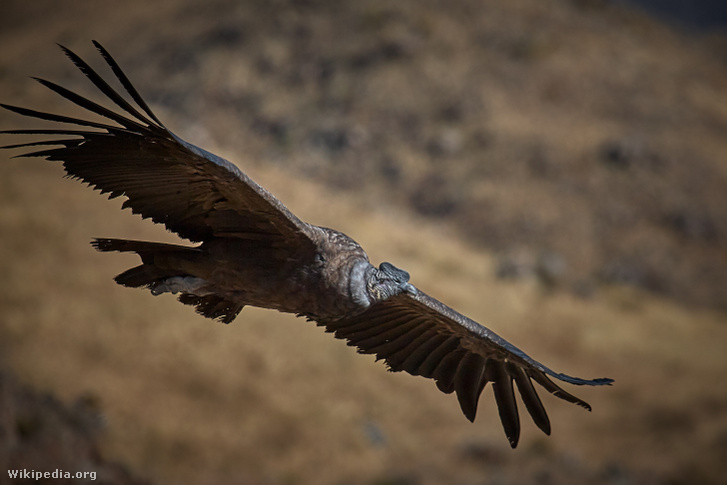Andoki kondor