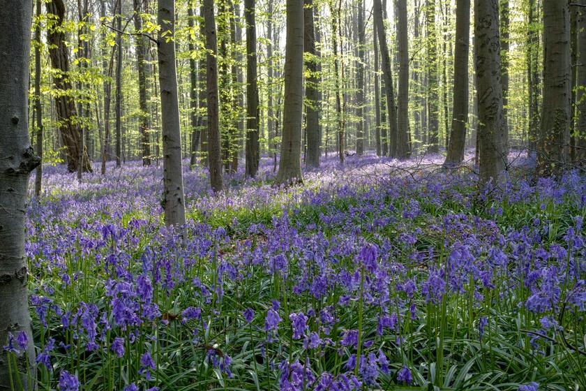 A Belgiumban található Hallerbos erdő minden évben varázslatos látvánnyal fogadja a túrázókat: tavasszal pár hétig varázslatos virágszőnyeg teríti be. A harangvirághoz hasonló angol kékcsengő nyílik itt.