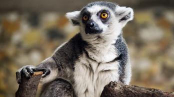 Elveszíthetjük a lemurokat, ha nem javul a helyzet