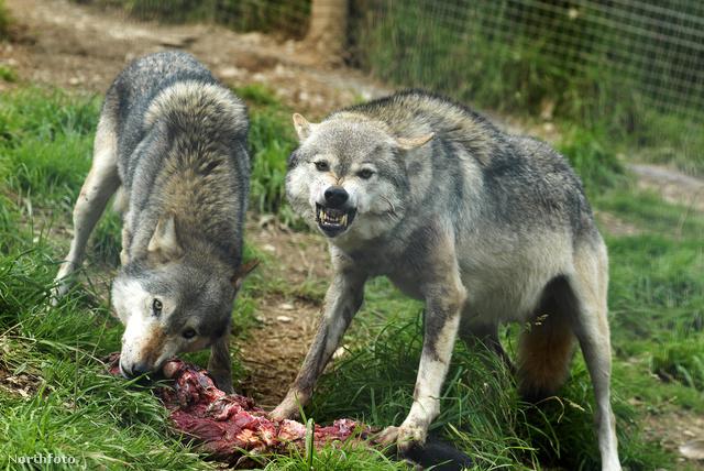 Shaun Ellis rengeteg sérülést kapott a farkasoktól, de azt mondja, ezeket soha nem agresszió eredményezte, nem megharapták, csak játék során sebezték meg akaratlanul