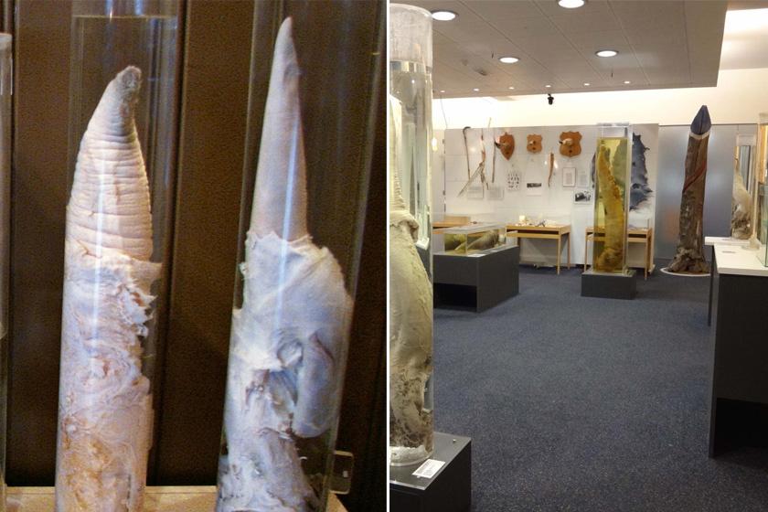 Izlandon, Reykjavíkban található a világon egyedülálló tárlatot bemutató péniszmúzeum, melyben több mint 200 emlős hímtagját mutatják be. A múzeum ezek mellett számos falloszt ábrázoló művészeti alkotásnak is helyet ad.