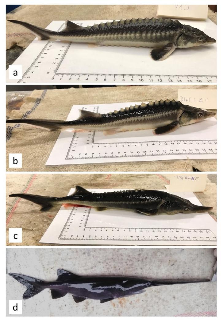 A felső képen a vágótok, az alsón pedig a lapátorrú tok látható, a két középsőn pedig a két hibrid csoport egy-egy képviselője.