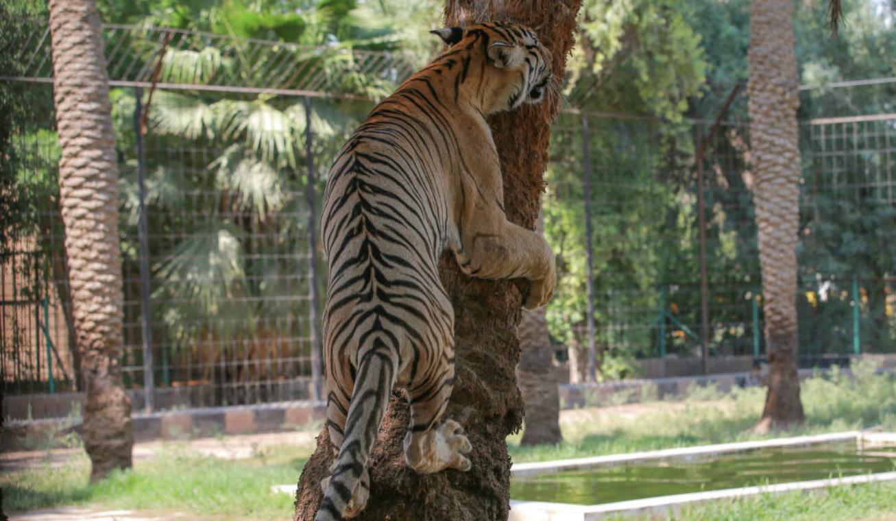 tigris nyitó (2)