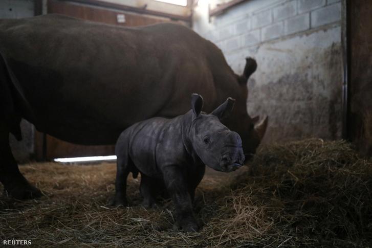 Atanasio, a 10 napos orrszarvú bébi és anyja Hanna, egy chilei állatkertben