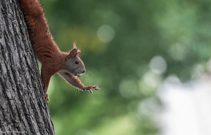 A képen nem a vizet kérő amerikai, hanem a berlini állatkert mókusa látható.