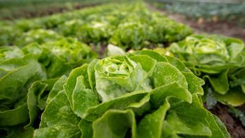 A szalmonellabaktérium rájött, hogyan lesz képtelenség lemosni a salátáról