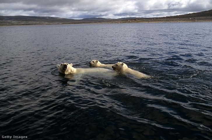 Jeges (pontosabban jég nélküli) medvék a kanadai Manitoba partjainál