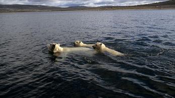 Az évszázad végére kihalhat a jegesmedve
