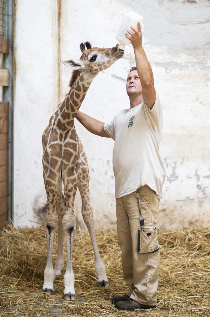 A Nyíregyházi Állatparkban közel húsz éve tartanak zsiráfokat.