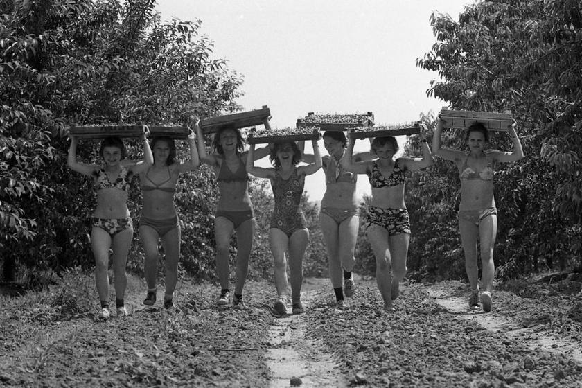 Az építőtáborok egyik fontos pontja az önkéntesség volt, és az, hogy az elvégzett munkáért nem járt fizetség, a fiatalok a jó hangulat miatt mégis szerették. A fotón egy 1974-es cseresznyeszedés látható Lengyeltótiban.
