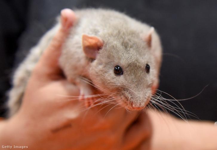 Képünk egy patkányillusztráció.