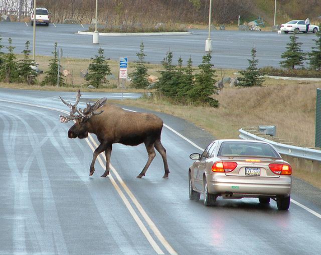 A képen szépen látszanak az állat méretei az autóhoz képest
