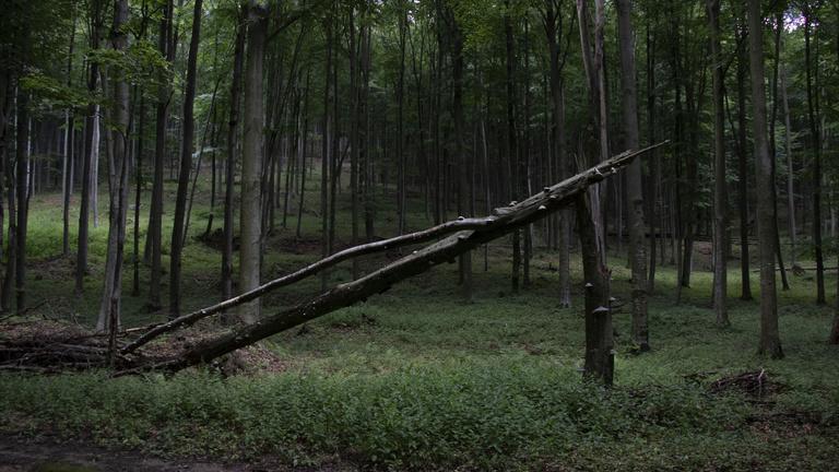 Haldokló óriások és defektes fák a Bükki Őserdő urai
