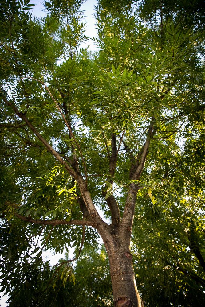 A Széll Kálmán tér órája mellett magasodú, vékony törzsű fa, a kőris fontos szerepet tölt be a germán mitológiában