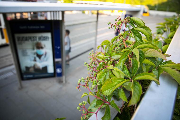 Szinte minden nap átvágok a Széll Kálmán téren, és eddig fel sem tűnt, hogy a villamosmegálló melletti korlátra vadszőlő fut fel