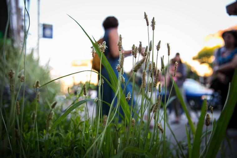 Vannak olyan növények, amelyek önként vállalják a kegyetlen városi körülményeket