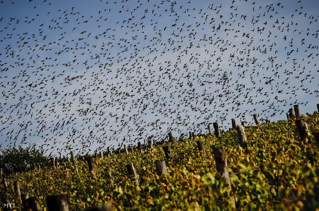 Seregélyek repülnek a tarcali Tokaji Borvidék Szőlészeti és Borászati Kutatóintézet egyik szőlője felett